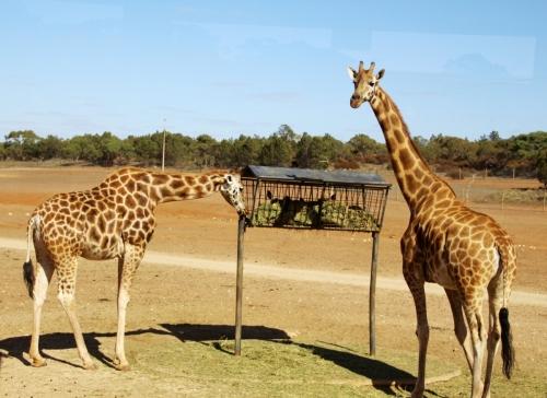 A-Monarto Zoo (9)